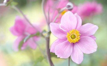 flowers, macro, petals, anemone