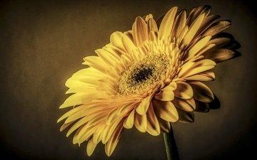 макро, цветок, лепестки, жёлтая, гербера