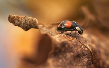 природа, макро, насекомое, фон, осень, лист, божья коровка