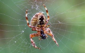 макро, паук, паутина, лапки