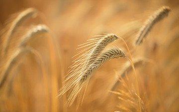 природа, макро, фон, поле, лето, зерна, колосья, пшеница