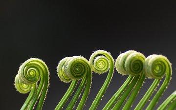 макро, зеленые, завитки, спираль, растение, усики, папоротник