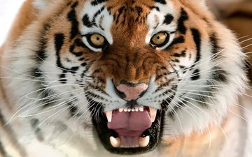 tiger, face, language, grin, the amur tiger