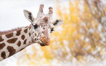 морда, фон, пятна, уши, жираф, рожки
