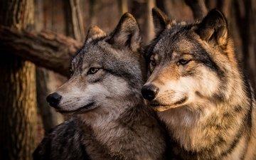 морда, хищник, серые, пара, семья, волки