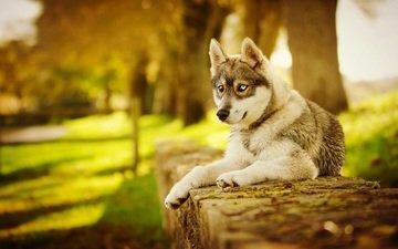 морда, лапы, осень, собака, хаски