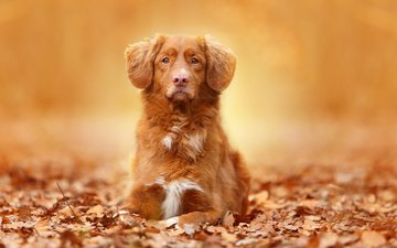 eyes, face, leaves, look, autumn, dogs, retriever