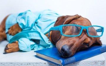 морда, очки, собака, лежит, спит, отдыхает, юмор, такса, книга, рубашка