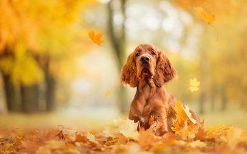морда, парк, листва, осень, собака, рыжая, пес, порода, листопад, сеттер, ada sanakiewicz