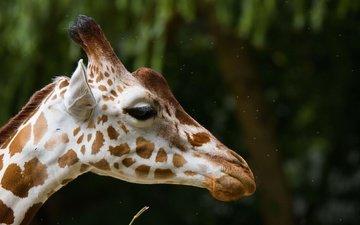 морда, фон, пятна, профиль, уши, жираф, рожки