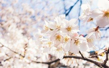 небо, цветы, ветка, цветение, макро, весна, вишня, сакура