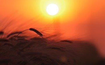 небо, свет, солнце, природа, закат, поле, колосья, пшеница, растение