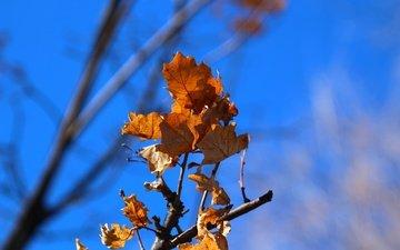 небо, ветка, природа, листья, фон, осень, дуб