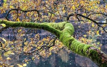 озеро, дерево, листья, осень, мох