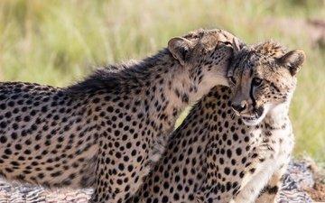 пятна, игра, кошки, хищники, гепарды, молодые