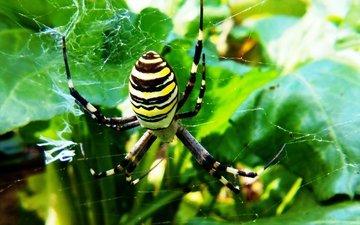 природа, макро, фон, паук, паутина, полосатый