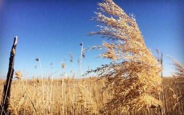 небо, трава, пейзаж, поле, колоски