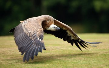 полет, крылья, гриф, птица, перья