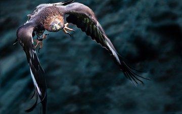 полет, крылья, хищник, птица, клюв, беркут, золотой орел