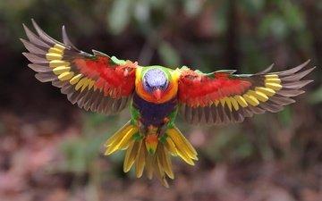 полет, крылья, птица, перья, попугай, многоцветный лорикет