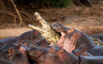 природа, битва, африка, зубы, крокодил, бегемоты