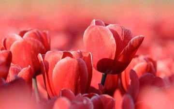 flowers, nature, petals, red, spring, tulips