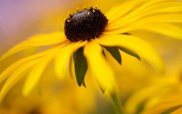 цветы, природа, лепестки, ромашка, жёлтая, рудбекия