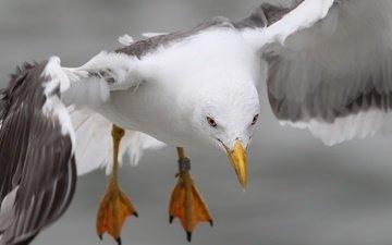 природа, полет, лапы, крылья, чайка, птица