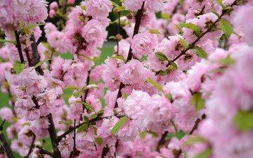 природа, цветение, весна, сакура