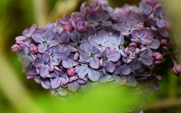цветы, природа, цветение, весна, сирень