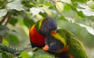 птицы, клюв, пара, перья, попугай, многоцветный лорикет
