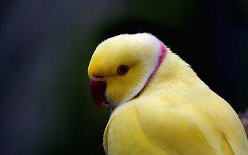 птицы, клюв, перья, попугай, индийский, кольчатый попугай