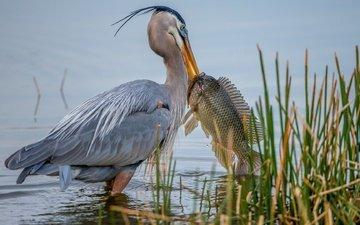 river, nature, bird, fish, reed, heron, catch