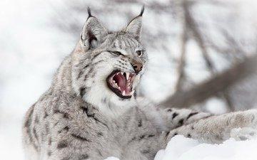 снег, зима, рысь, зубы, уши, пасть, дикая кошка