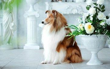 цветы, шерсть, собака, букет, колли, шотландская овчарка