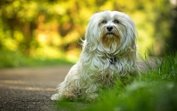 wool, paws, look, dog, the havanese