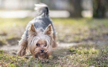 шерсть, взгляд, собака, друг, йоркширский терьер