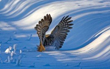 сова, снег, зима, крылья, птица, перья, неясыть