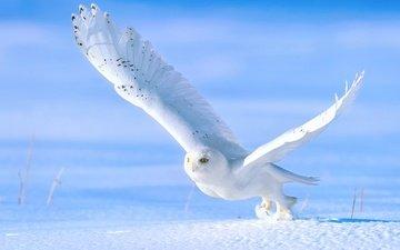 сова, снег, зима, крылья, птица, взлёт, белая, полярная