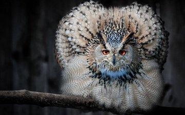 сова, ветка, взгляд, птица, клюв, перья, филин