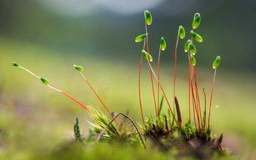 природа, фон, мох, стебли, растение, росток, мох.растение