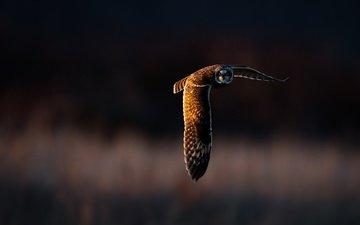 свет, сова, полет, крылья, птица, клюв