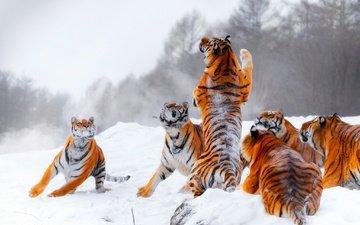 тигр, снег, зима, прыжок, игра, стойка, тигры