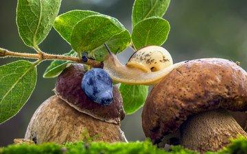трава, листья, макро, ягода, грибы, черника, улитка, боровик