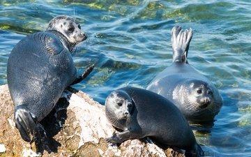 берег, море, трио, тюлени, байкальская нерпа