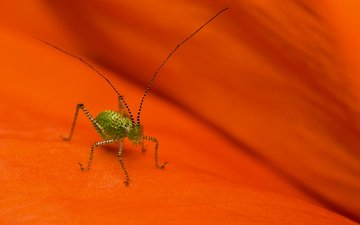 macro, insect, mustache, grasshopper, legs