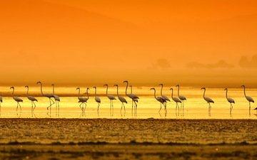 вечер, берег, закат, фламинго, птицы