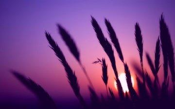 трава, вечер, солнце, природа, цвета, закат, фон, колосья, колоски