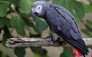 ветка, птица, клюв, перья, хвост, попугай, жако
