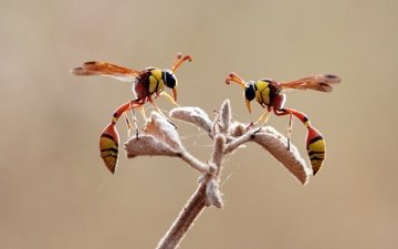 branch, wings, insects, legs, osa, wasps